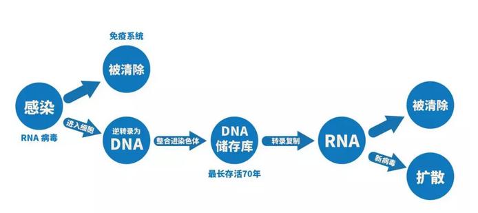 病毒库建立到一定程度后,病毒产生的速度远远超过人体免疫系统清除的速度,血液中开始存在大量的RNA