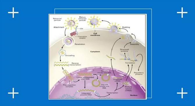 HIV生命周期