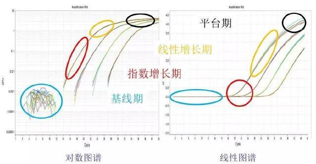 图2 扩增图谱与扩增阶段