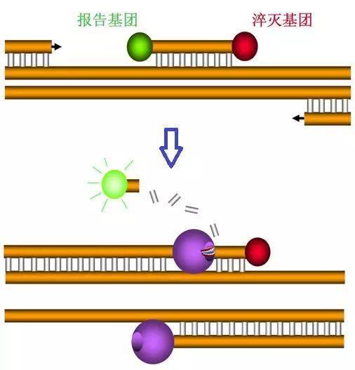 图5 PCR扩增与荧光信号的收集(探针法)