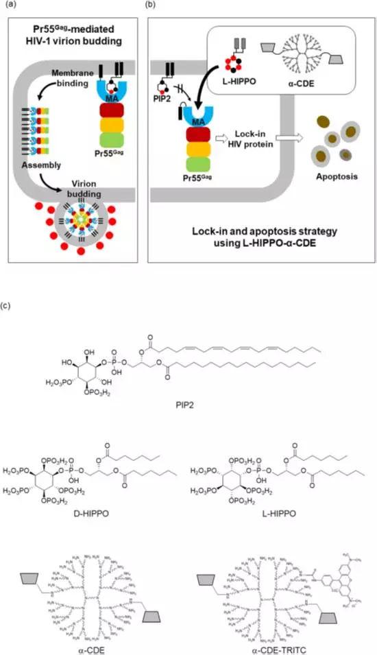 一个人造分子(L-HIPPO)促使HIV病毒被锁定和凋亡的策略