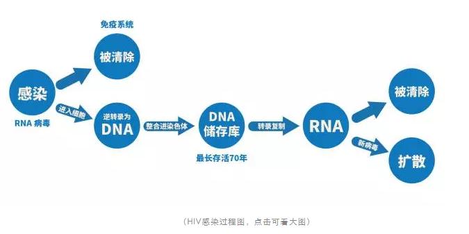 HIV在人体细胞内的感染过程