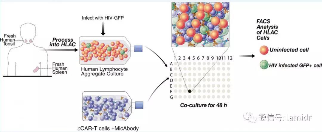 特异性杀伤HIV感染的原代CD4+ T淋巴细胞